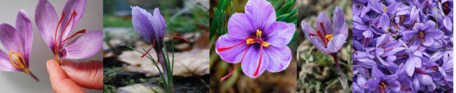 saffron, pariwisataindonesia.id, pariwisata indonesia, saffron itu apa, apa itu saffron